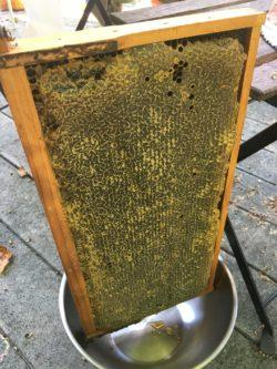 for those beekeeping in South Florida, this is a beeframe, ripe for the harvest
